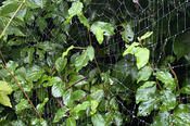 A Wet Spider Web