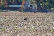 Field With Turkey Vulture