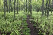 Fern-Lined Trail